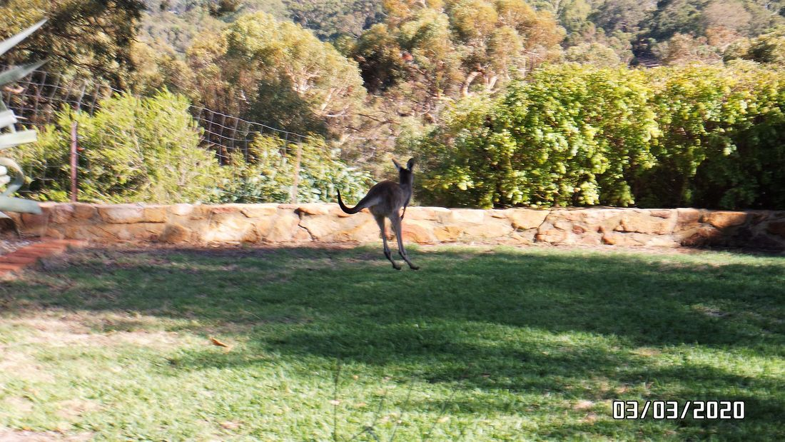 roos on lawn